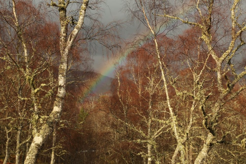 Rainbow, birch trees, Strathfarrar, Scotland.