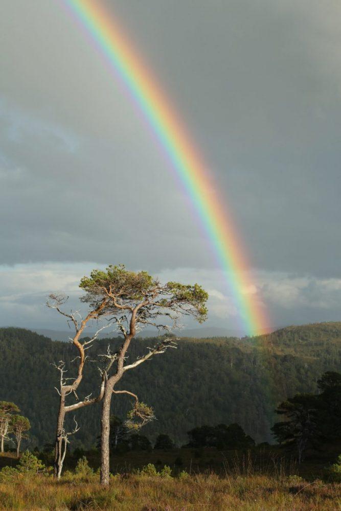 Rainbow, Scots pine, Caledonian Forest, Glen Affric, Scotland.