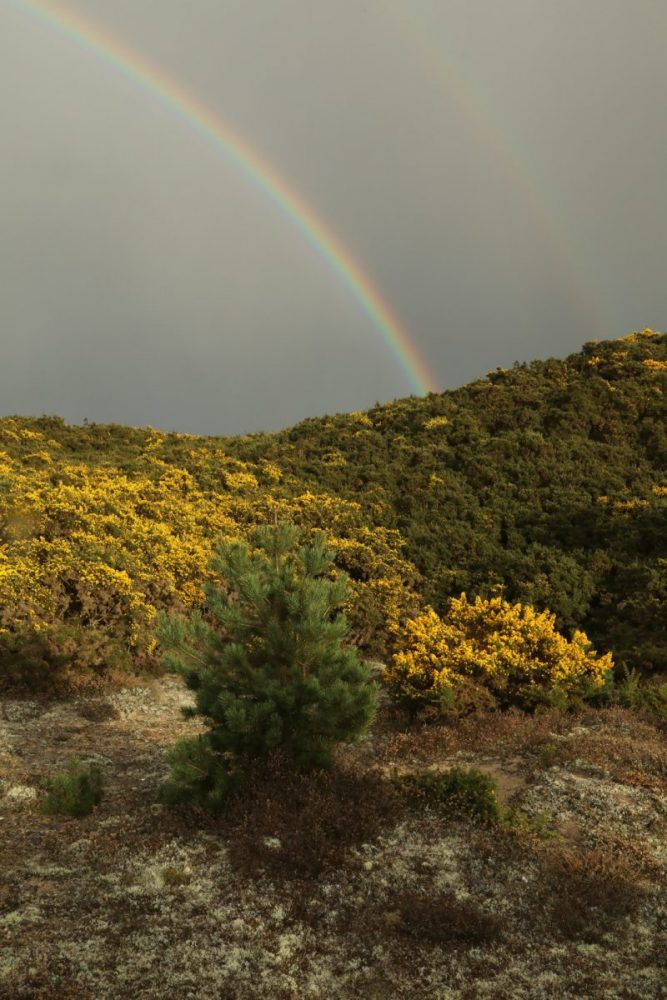 Rainbow, double rainbow, gorse, flowering gorse, Scots pine, Scotland.