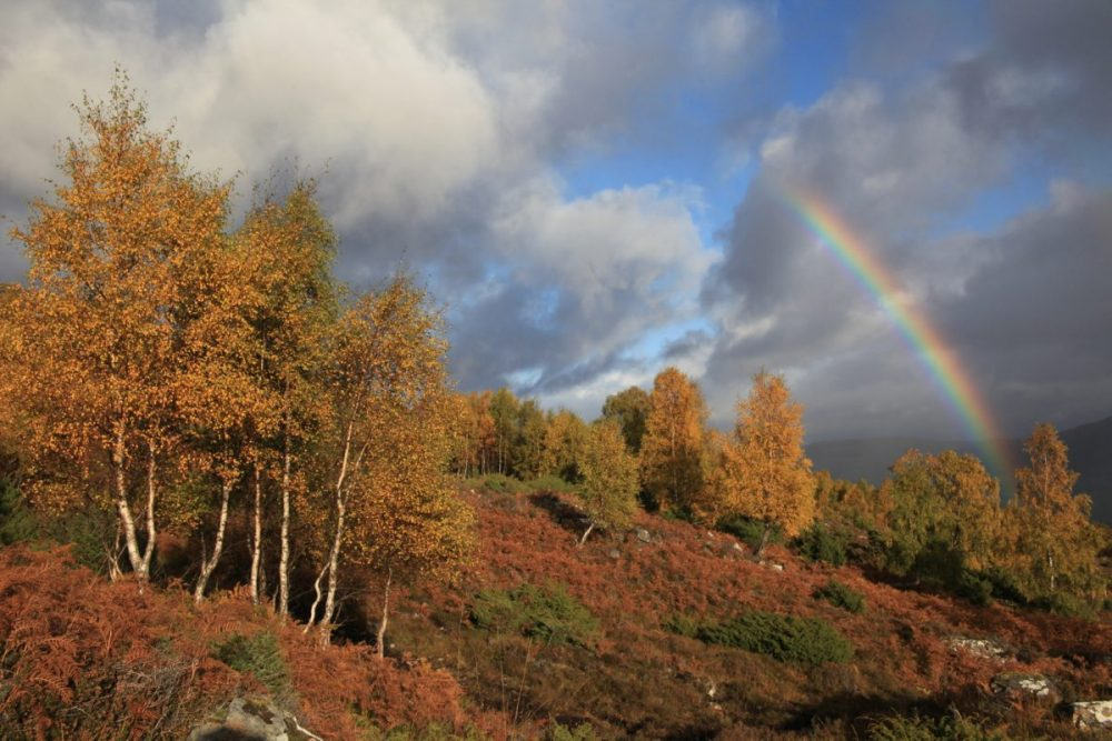 Rainbow, autumn, birch trees, Scotland