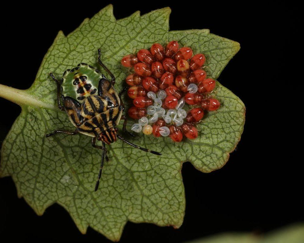 A shieldbug extravaganza, part 1