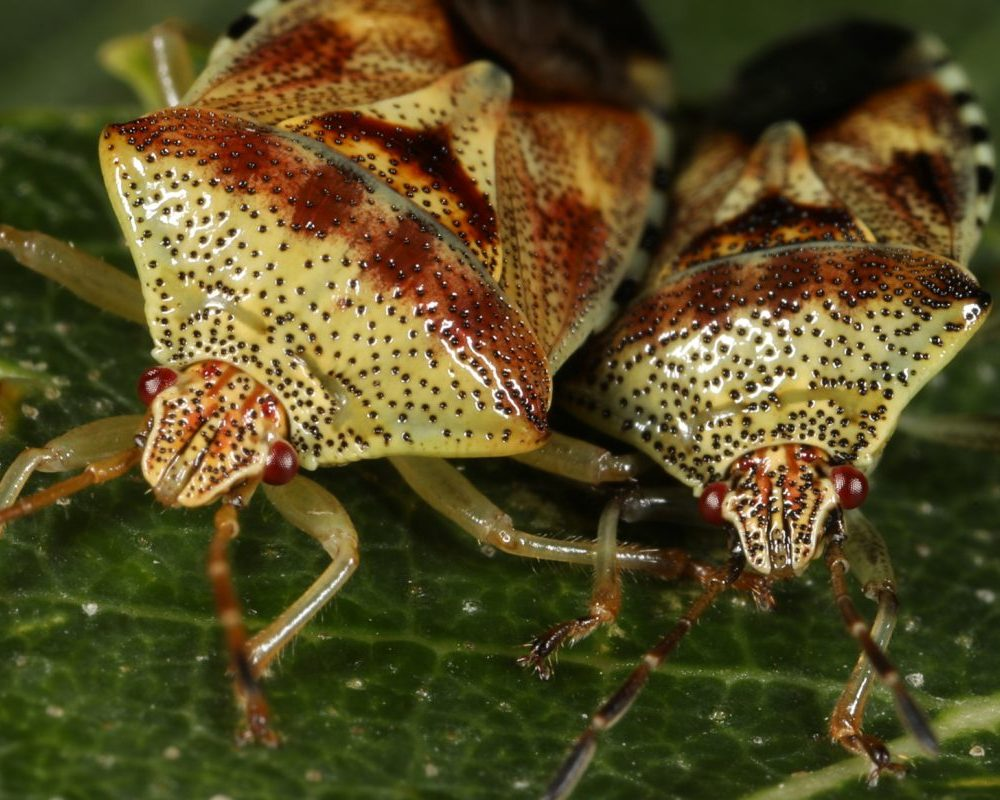 A shieldbug extravaganza, part 2